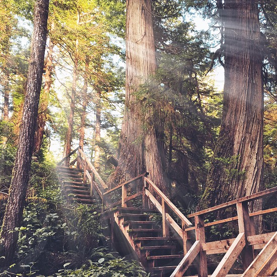 sun beams shining over a wood staircase with railing through a redwood forest photo