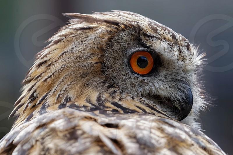 Eurasian Eagle-Owl (Bubo bubo) photo
