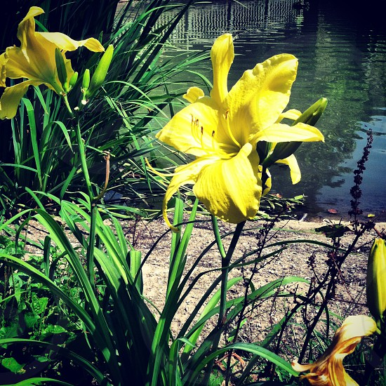 flowers yellow lily pond photo