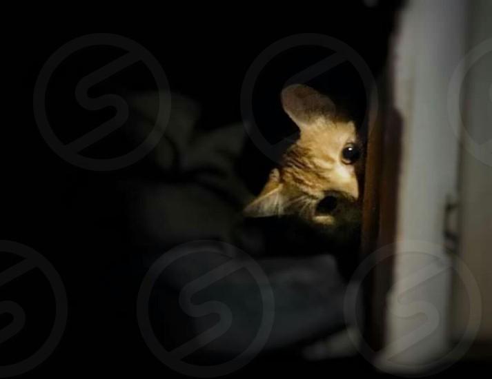 Ashi the Siamese Kitten Playing PeekaBoo photo
