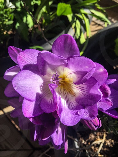 Freesia in full bloom  photo
