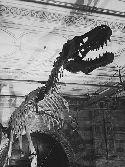 Dinosaur bones London's natural history museum  photo