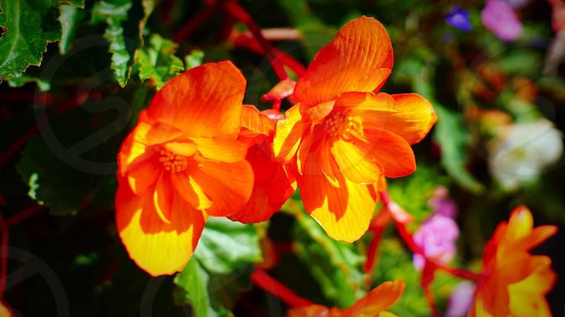 close up photo of orange petaled flowers photo