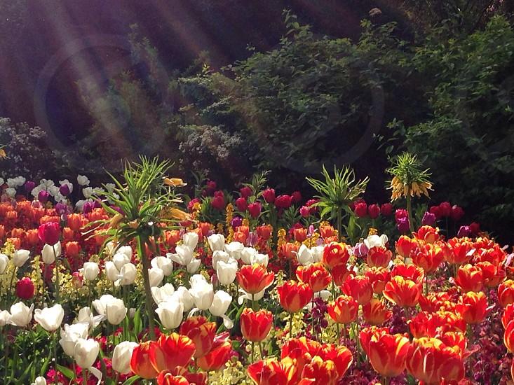 Tulips in London  photo