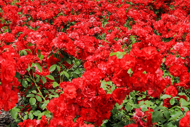 red carnations during daytime photo