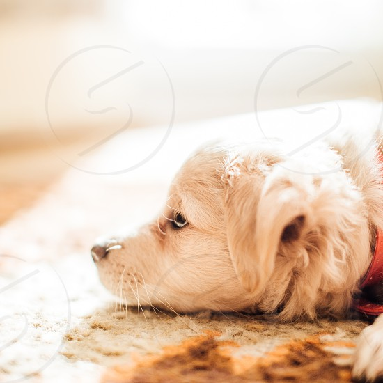 Pet Puppy White Background Eyes Face Home Sed By Serhiy Hipskyy Photo Stock Snapwire