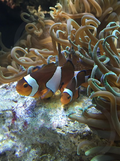 "Clown fish ""reproduction"" photo"