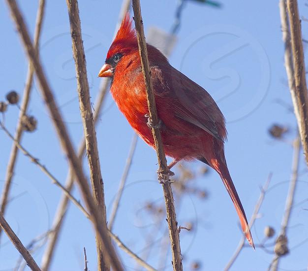 Cardinal bird red wildlife photo