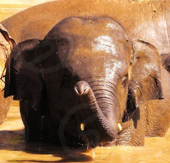 Wild elephants in Thailand  photo