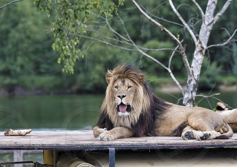 african male lion on roof of safari car with a female lion next to him photo