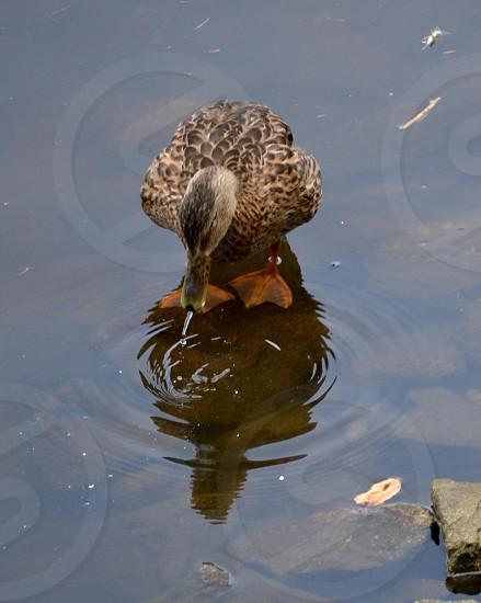 brown duck drinking wateer photo