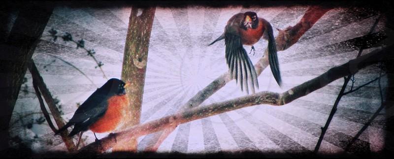 Robin bird winter photo