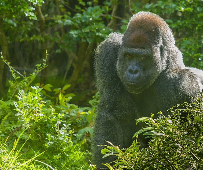 Ape posing in Animal Kingdom 3 photo