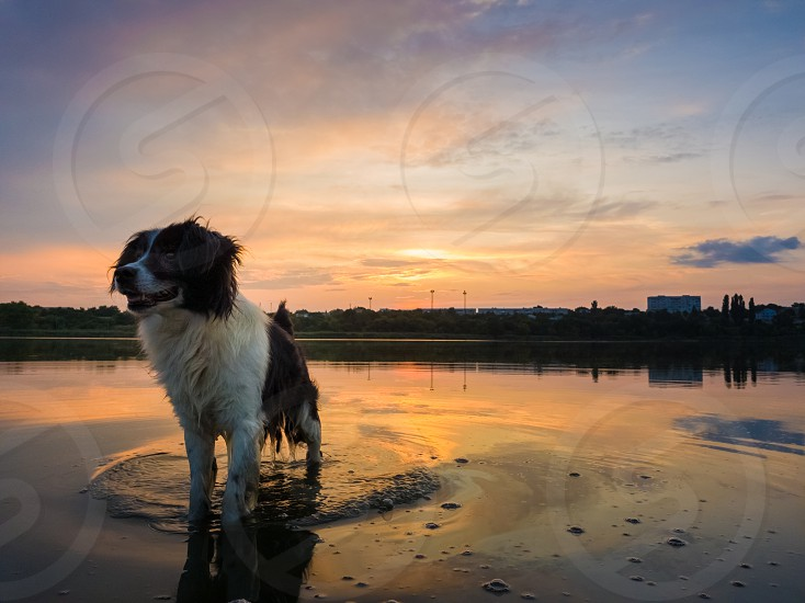 Happy dog refreshing as walking in the pond water over sunset background with reflection on the lake surface. Pet enjoying the silence of the sundown looking attentive aside. photo