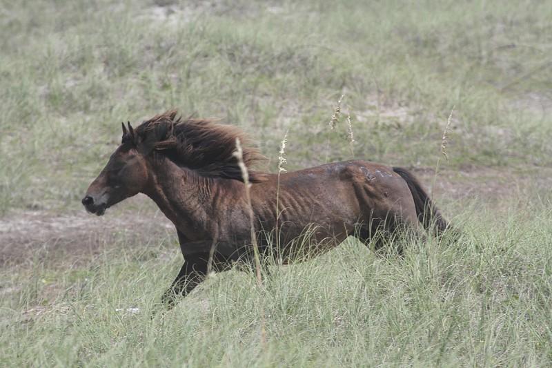 Wild horse on Shackleford Banks NC. photo