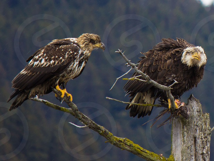 Eagles fighting over a raven's carcass in Girdwood AK photo
