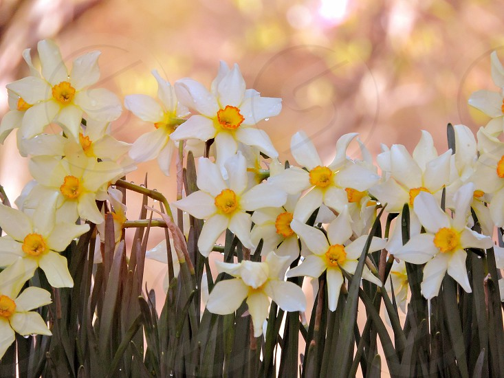 Daffodils in Spring photo