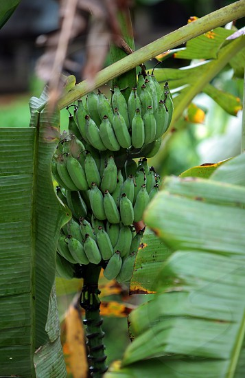 a Banana tree near the Village of Fang north of the city of chiang mai in the north of Thailand in Southeastasia.  photo