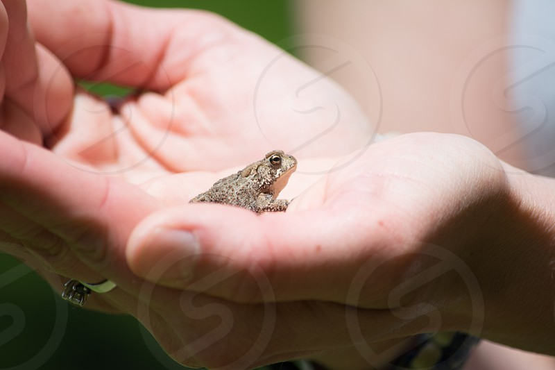 small gray speckled frog in hands photo