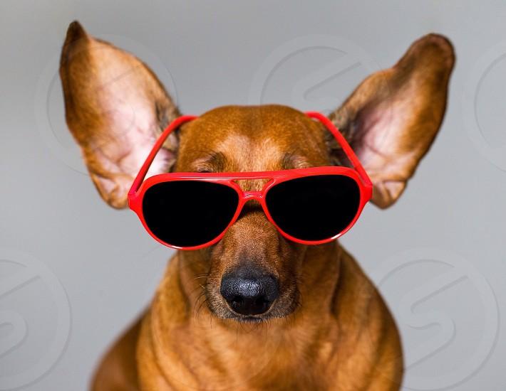 Cute dog in red glasses funny happy joy real smart love fashion stylishpet photo