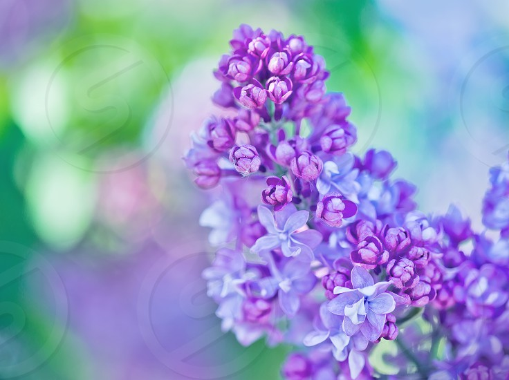 Close-up of lilac flowers on colorful background photo