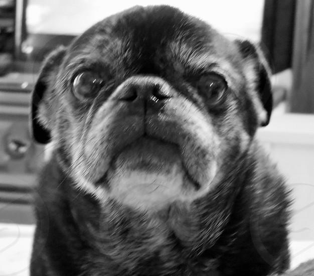 OLD BLACK PUG DOG SAD photo