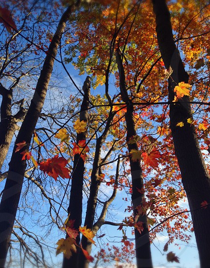 Looking up into autumn sky through trees photo