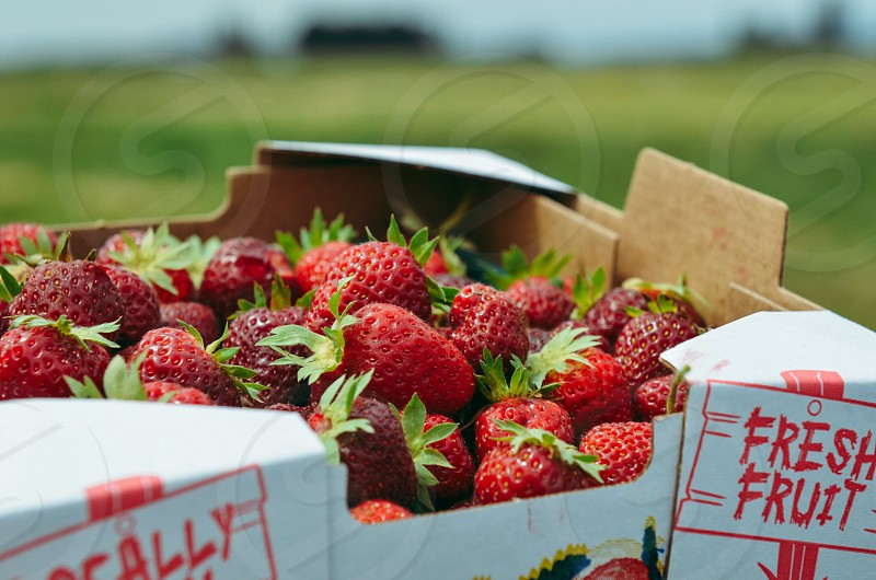 Fresh fruit strawberries farm field up pick  photo