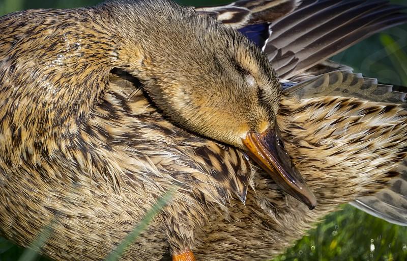 Detail of female mallard duck preening on bank 2 photo