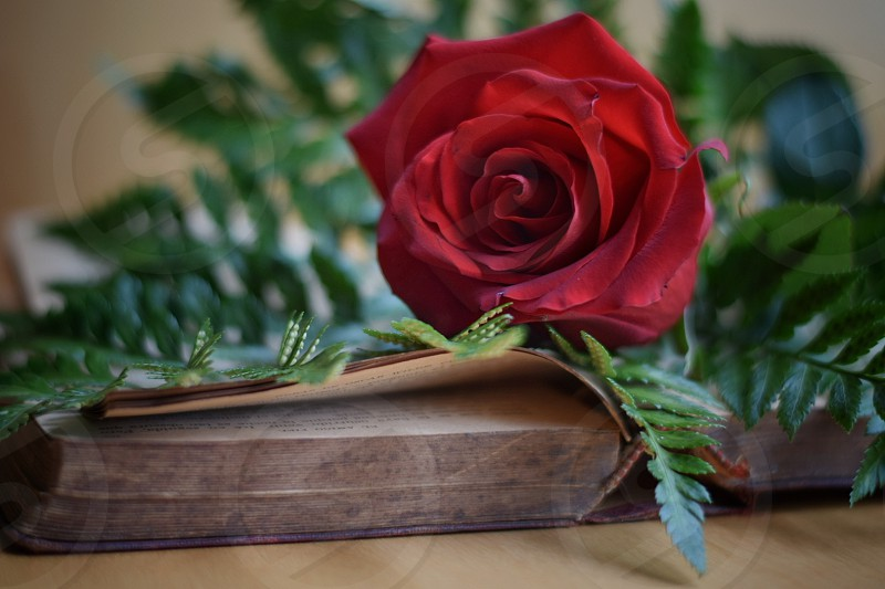 close up photo of red full bloom rose on top of opened book photo