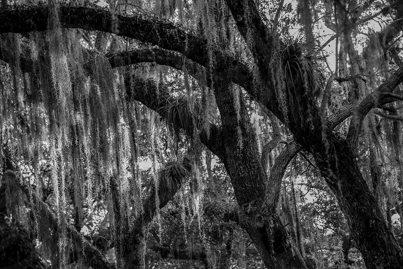tree branches with beard lichen in grayscale photo