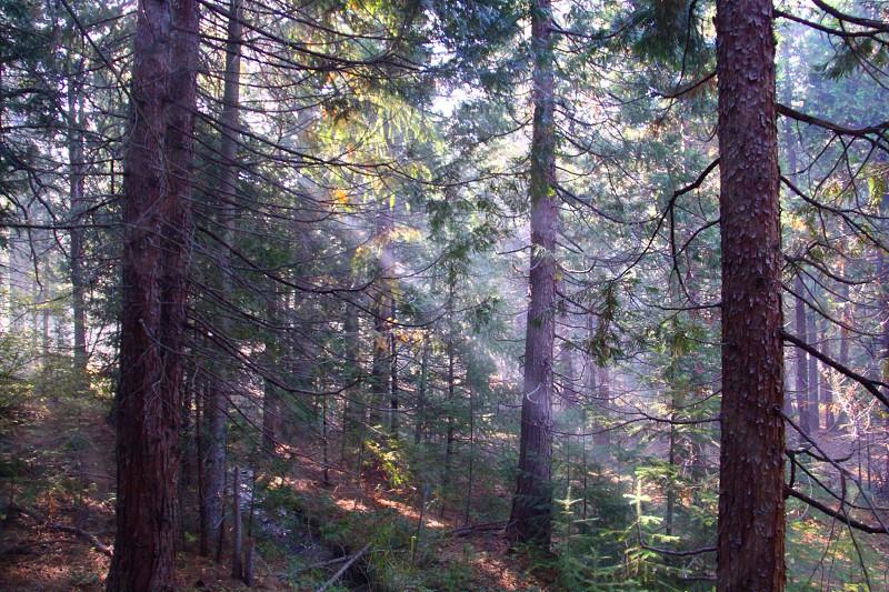 sun rays breaking through pine tree forest photo