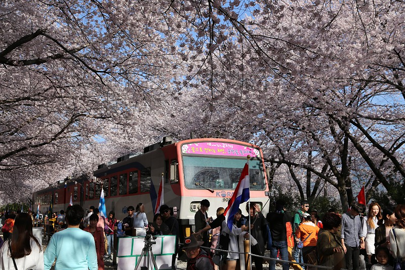 Scenic Spring Destination - Busan Korea photo