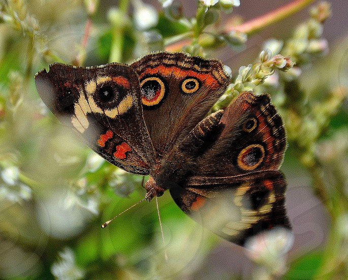 Brown butterfly in white flowers. photo