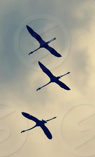 Flamingos flying photo