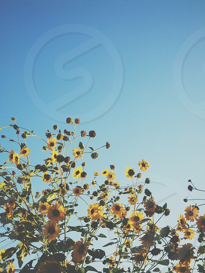 Sunflower Sky. Blue. Yellow. Mobile Photography. photo