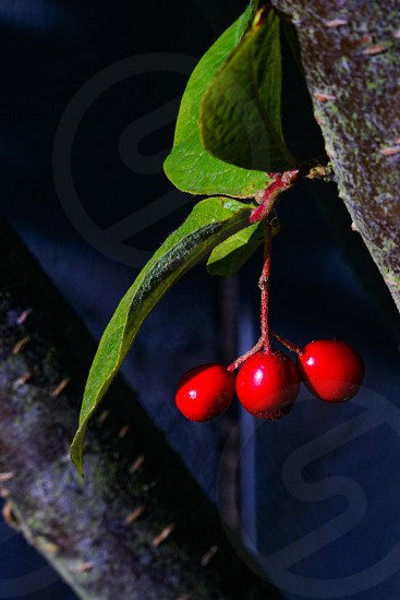 Low light red berries and their green leaves closeup photo