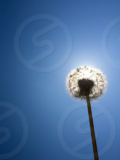 low-angle photo of white dandelion flower against the sun photo