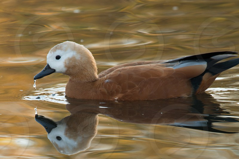 brown and black duck on river photo