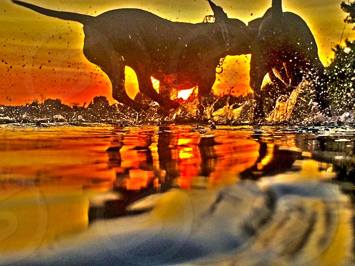 #sunset #sun #sky #water #splashing # dog #pitbull #playing #wave #ripples #run #love photo