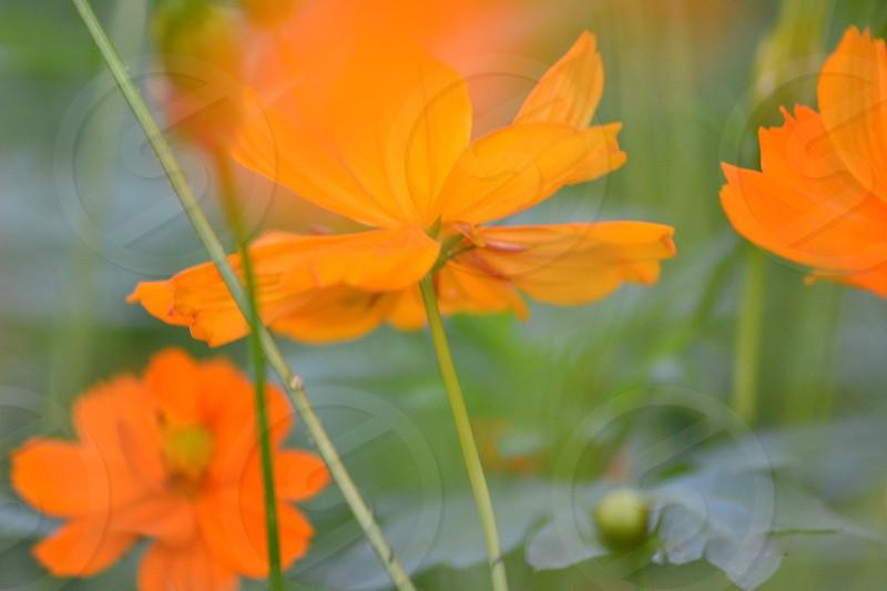 orange petal flowers on green stems photo