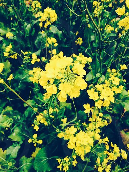 japan Spring flower photo