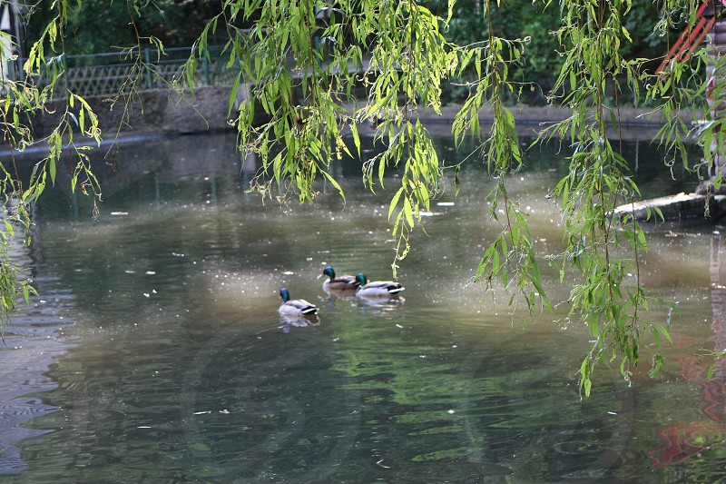 mallard ducks on water by green weeping willow trees at daytime photo
