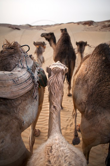 Camels walking in desert near Aswan photo