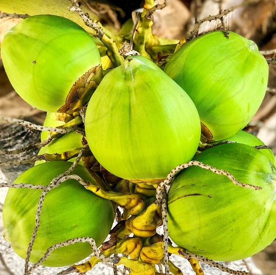 Coco coconut tree green tropical grow outdoor fruit photo
