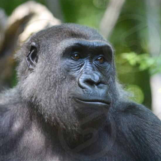 black gorilla photo