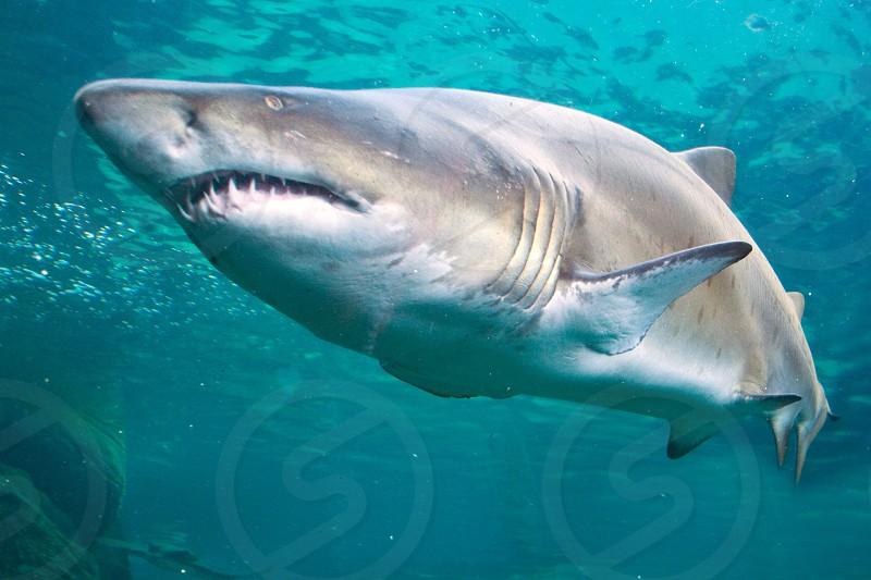 Shark bearing it's teeth  photo