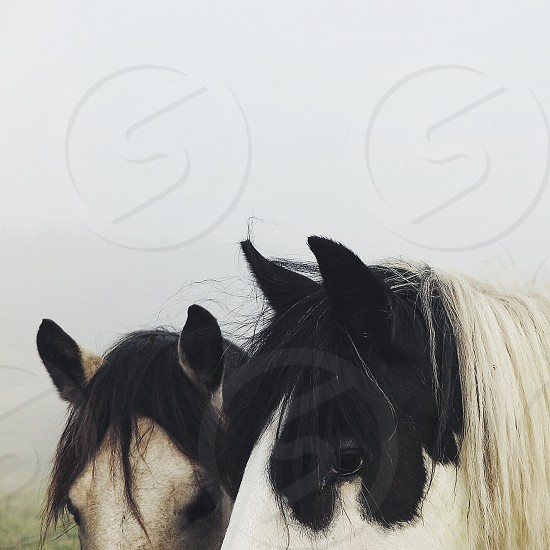 two brown and white horse photo