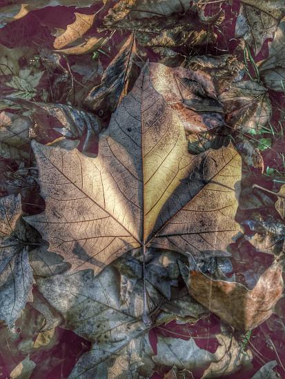 maple leaf autumn leaves fall filtered photo