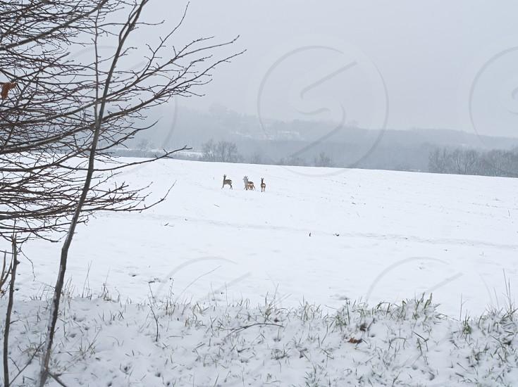 Wild Roe Deer Herd on a Snowy Winter Field photo